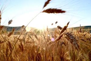 Tylko 30 proc. gospodarstw rolnych utrzymuje się z działalności rolniczej (wideo)