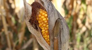 IUNG: Susza dotyczy głównie upraw kukurydzy