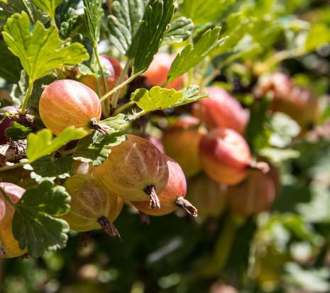 Plantator: promowane są tylko nieliczne owoce, agrest jest niedoceniany (wywiad)