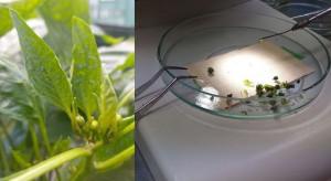 Biotechnologia u papryki - krótszy proces hodowli nowych odmian