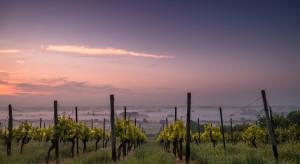 Mamy już 600 ha winnic w Polsce