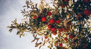 Niemieccy sadownicy oczekują dobrych zbiorów jabłek