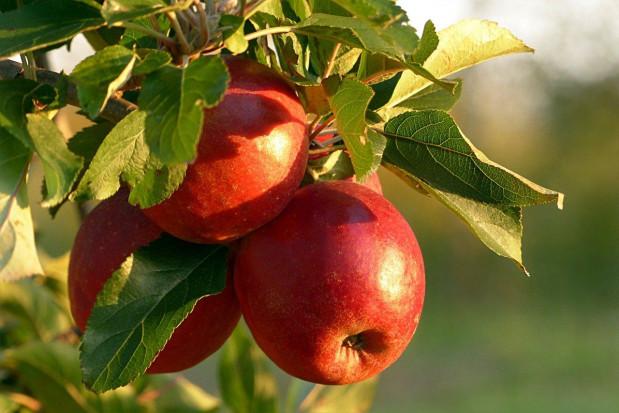 Ukraina spodziewa się rekordowych zbiorów jabłek