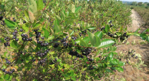 Trwają zbiory aronii. Sezon będzie udany dla plantatorów?