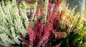 Na Broniszach dostępne kwiaty jesieni