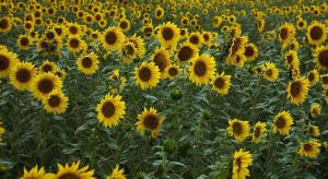 Słoneczniki zwracają się w kierunku wschodnim. To daje im korzyści