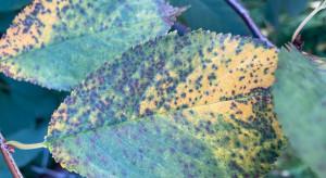 Jak zadbać o sady wiśniowe po zbiorach?