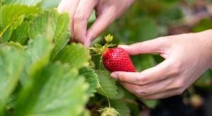 Huelva: plantatorzy truskawek sięgną po pracowników z Hondurasu i Ekwadoru