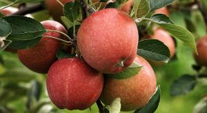 Galster spodziewa się dobrych zbiorów jabłek