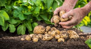 Podlasie: Niższe plony ziemniaków