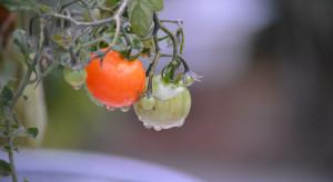 Citronex rusza z uprawą pomidorów w Ryczywole