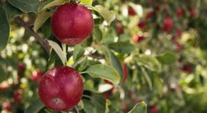 Sieci handlowe i przetwórnie prowadzą grę z sadownikami