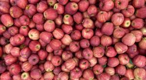 Jabłka na sortowanie: pierwsze oferty cenowe na zakup Gali