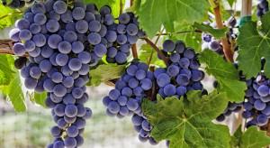 Produkcja francuskich win spadnie w tym roku o 29 proc.