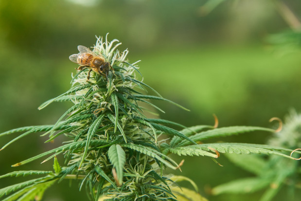 Warmińsko-mazurskie: Pszczelarz uprawiał marihuanę, by poprawić kondycję pszczół