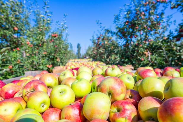 Trwają zbiory tureckich jabłek. Ceny dla producentów wyższe niż rok temu