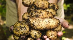 Trwają wykopki ziemniaków. Ceny wyższe niż w ubiegłym roku