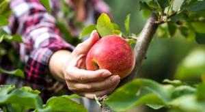 Brakuje chętnych do pracy przy zbiorach jabłek. Stawki rosną
