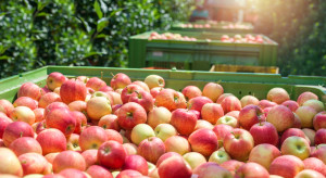 Ruszają zbiory jabłek 2021 - co z pracownikami sezonowymi?