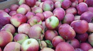 Jak ukształtuje się rynek jabłek przemysłowych i koncentratu?