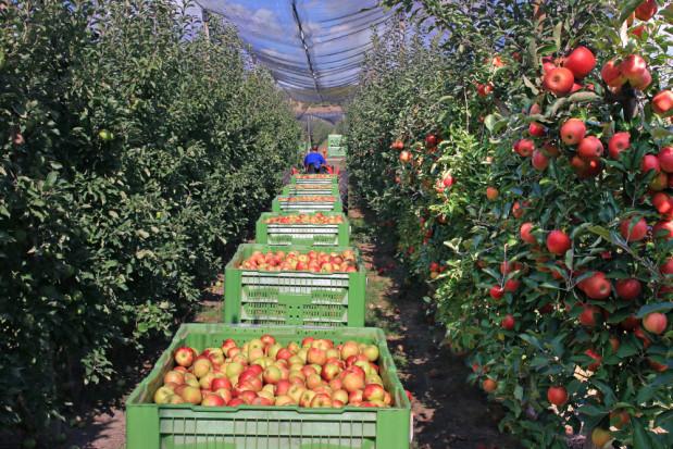 Maliszewski: Koszty pracy są tak wywindowane, że zbieranie jabłek traci sens