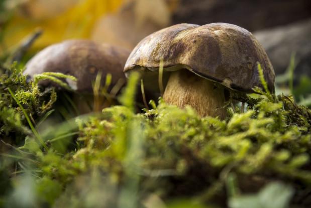 1,4 tys. gatunków grzybów jadalnych w polskich lasach