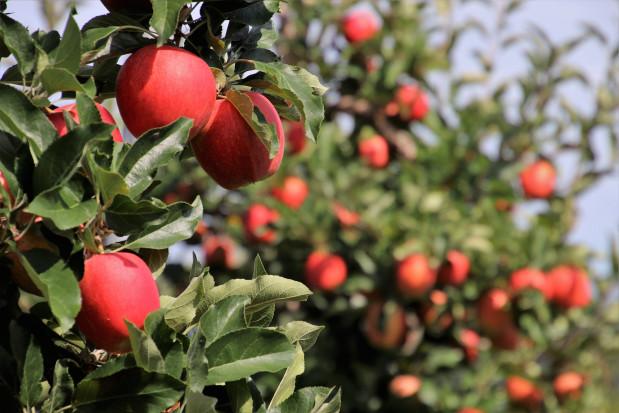 Ile ton wyniosą tegoroczne zbiory jabłek w Sandomierzu?