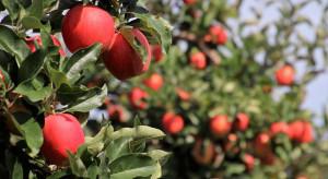 Ile jabłek zostanie zebranych w tym roku w Sandomierzu?