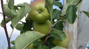 Ochrona przedzbiorcza jabłek w trudnym sezonie