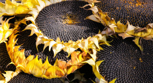 Ukraina: Zbiory słonecznika większe niż w poprzednim sezonie