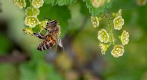 Policja szuka wspólnika pszczelarza, który otruł 420 tys. pszczół