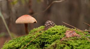 Zbiory grzybów w polskich lasach szacuje się średnio na ok. 100 tys. ton rocznie