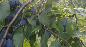 Biedronka kupiła 200 ton marszczącej się śliwki węgierki od sadowników
