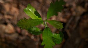 Podkarpackie: Ruszyło coroczne smarowanie sadzonek w lasach
