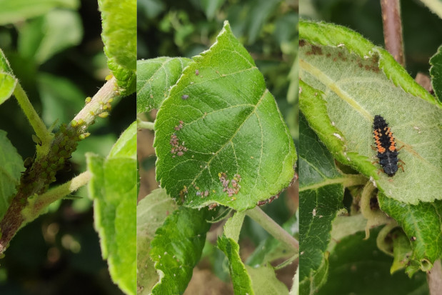 Odporność mszyc w sadach jabłoniowych