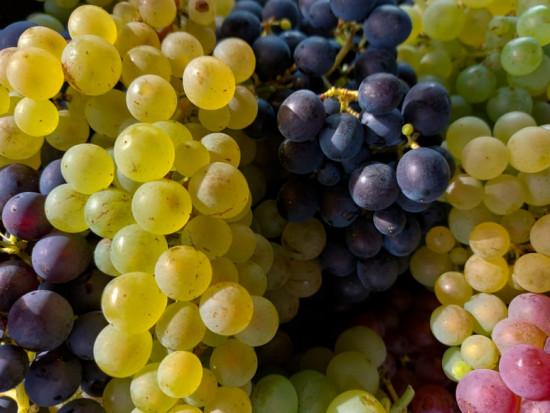 Copa i Cogeca: Historycznie niskie zbiory winogron, ale jakość dobra