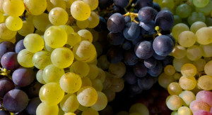 Copa -Cogeca: Niskie zbiory winogron, ale jakość dobra