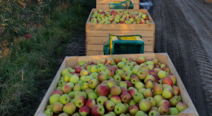 Pogoda utrudni zbiory jabłek? Od czwartku silne wichury i deszcz