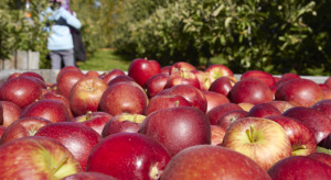 Czechy: W tym sezonie zbiory jabłek będą niższe