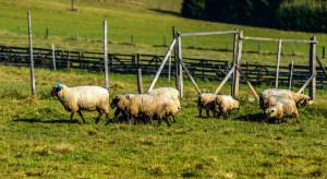 Pogoda sprzyja wypasowi owiec