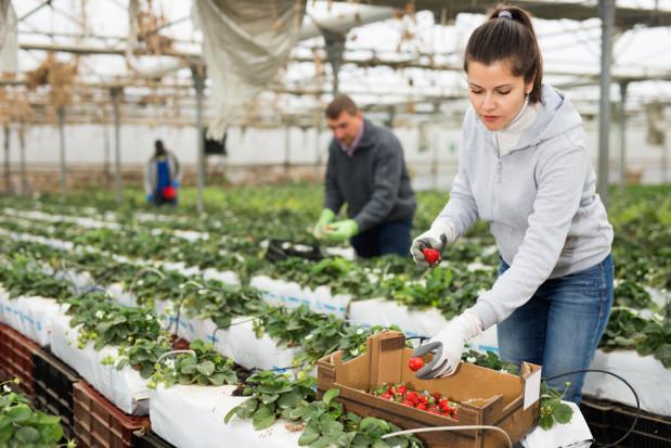 Holendrzy pilnie potrzebują pracowników do zbioru truskawek szklarniowych