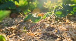Kwas nonanowy- jakie zastosowanie w sadach i uprawie truskawek?