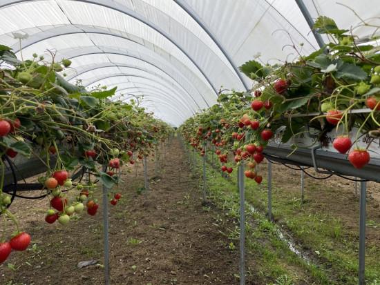 BerryTech 2021: ponowna wizyta w uprawie tunelowej truskawki powtarzającej