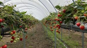 BerryTech 2021: Z wizytą w uprawie tunelowej truskawki powtarzającej (zdjęcia)