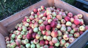Świętokrzyscy sadownicy: Obecnie sprzedaż jabłek się nie opłaca!