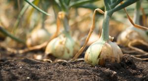 Jak zrobić biznes na cebuli i sprzedać plony w internecie?