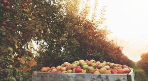Uprawa jabłek z roku na rok coraz mniej opłacalna