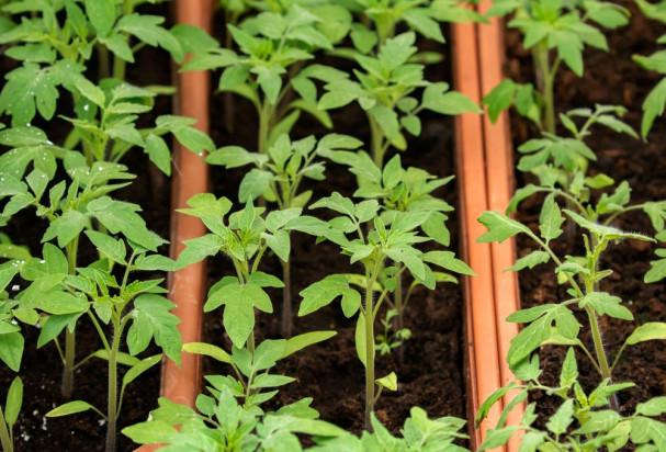W. Brytania złagodzi przepisy dotyczące roślin genetycznie edytowanych