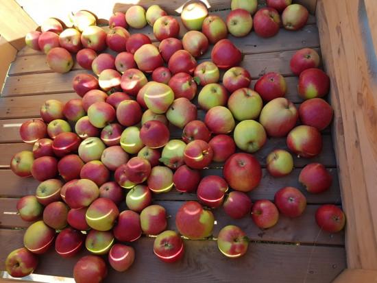 Zbiory jabłek 2021: Coraz większa podaż odmian na rynku