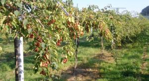 Zwiększa się powierzchnia upraw Minikiwi w Polsce